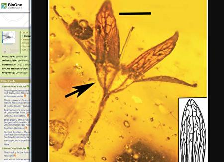 缅甸琥珀发现1亿年前完整花朵化石 栩栩如生