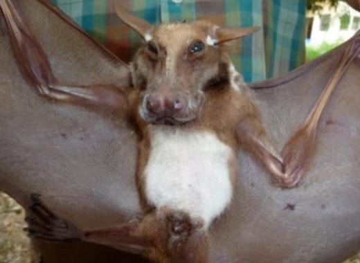 非洲發現難以置信的「狗頭蝙蝠」