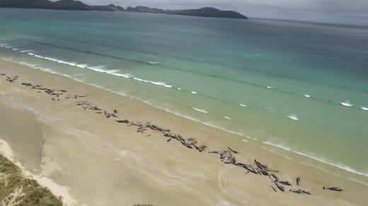 145头巨头鲸搁浅 一半已死一半将被安乐死