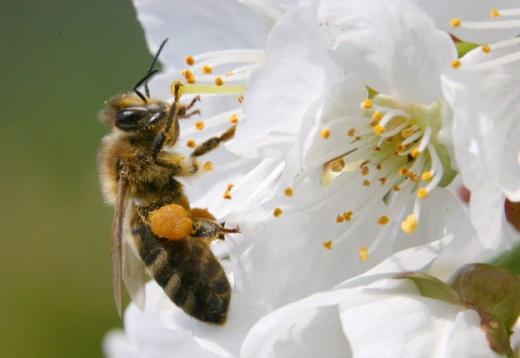 研究:花听得到蜜蜂嗡嗡声